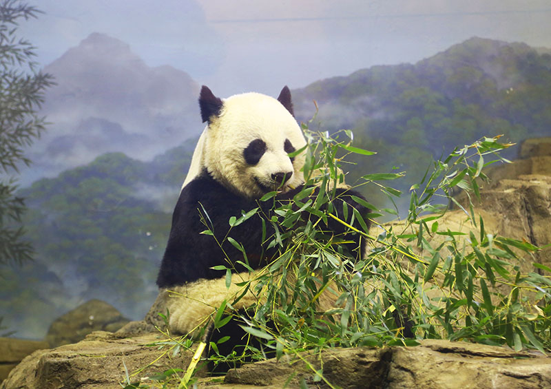 Panda no Smithsonian National Zoological Park