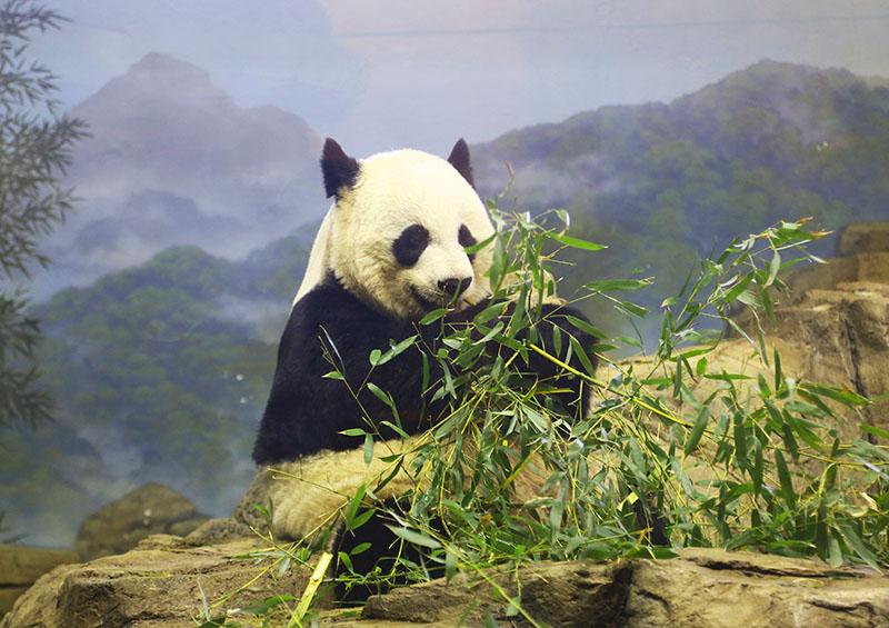Panda no Smithsonian National Zoological Park